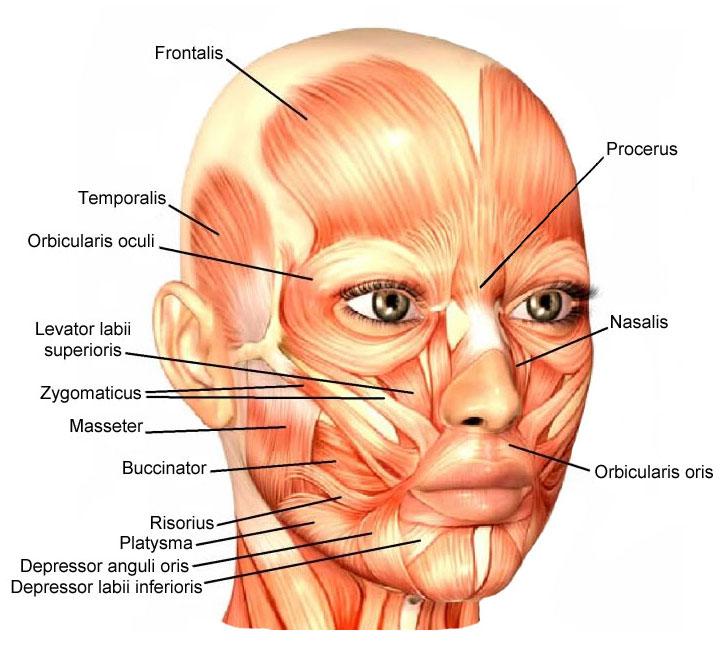 Facial-Muscles